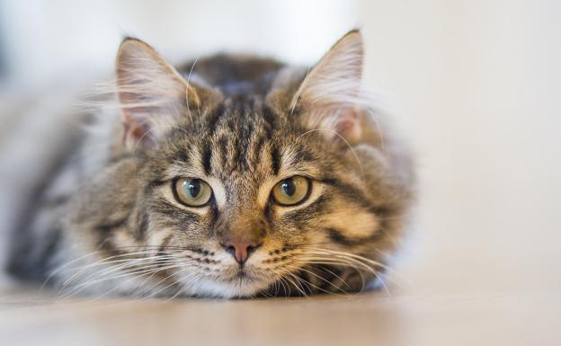 ¿Por qué los gatos tienen una forma de 'M' en la frente?